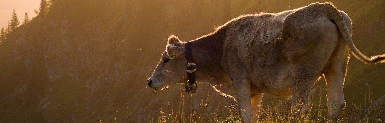Kuh im Allgäu © Allgäu GmbH, Klaus-Peter Kappest